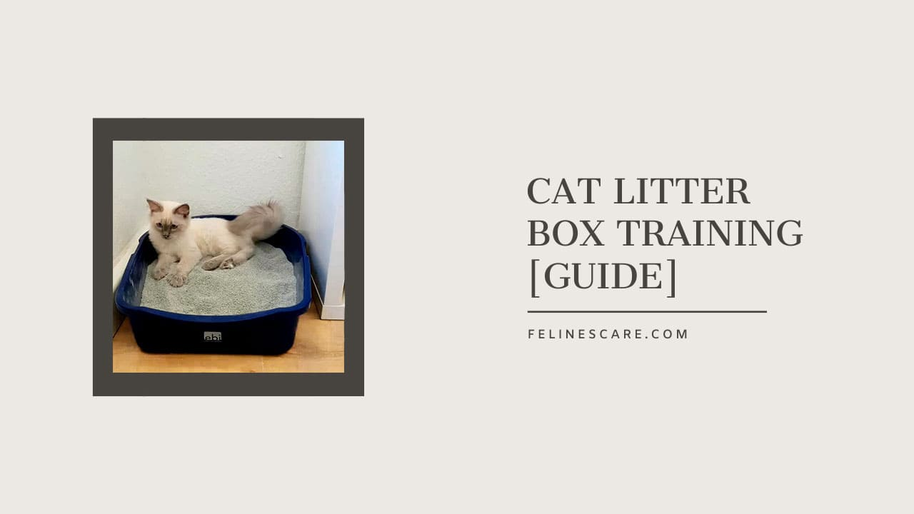 How to Train a Cat to Use Litter Box [Guide]