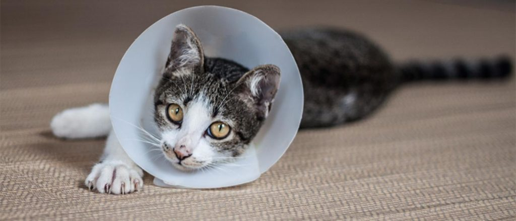 How To Take Care Of A Cat After Spaying And Declawing